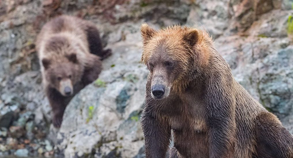 Bears in Alaska. Picture Provided by Simran Gill, Clicked By Nikhil Nagle