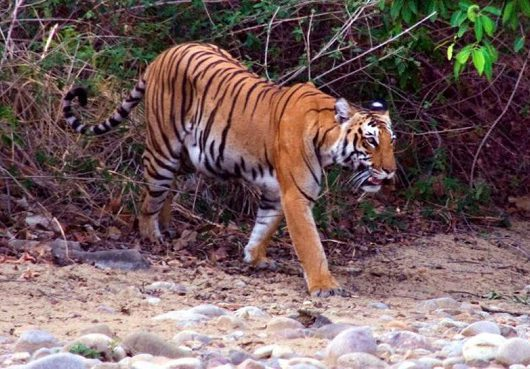 tigress-avni-killing:-maneka-gandhi-condemns,-calls-out-forest-minister