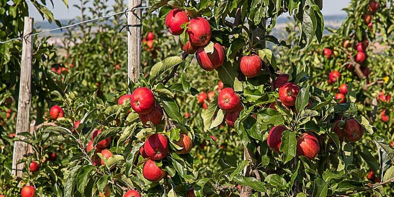 Apple Picking in Kashmir, Women of Kashmir Apple Industry