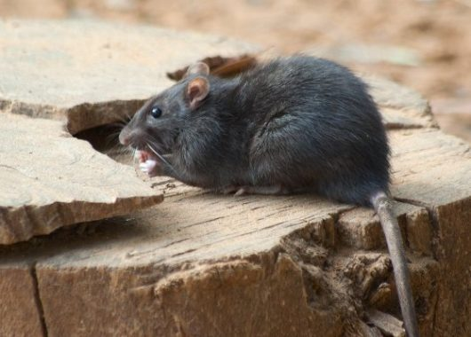 hantavirus-is-not-a-new-virus.-here's-why-you-shouldn't-be-worried